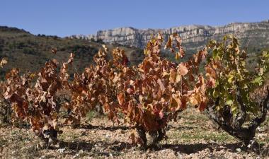 Vinyes a Cornudella